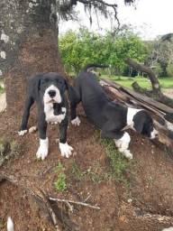 Título do anúncio: Filhotes de dog alemão