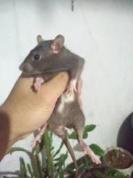 Rato Mercol / Twister