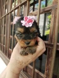 Yorkshire Terrier belos filhotes
