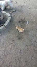 Filhote de chihuahua pelo curto macho