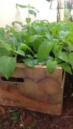 Vendo-Mudas Pimenta