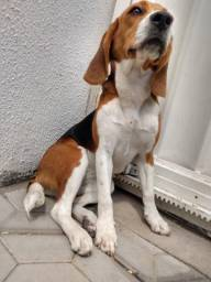 Beagle Tricolor Fêmea