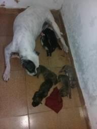 Vendo filhotes de cachorros dá raça pitbull