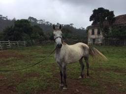 Cavalo com sangue Mangalarga Marchador