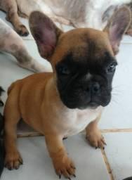 Bulldog Francês Fulvo