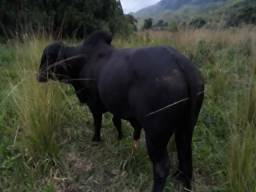 Vaca Bezerro Novilha Jumento Pega
