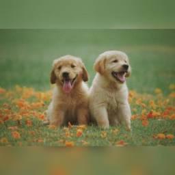 Labrador filhotes vacinados com garantias de vida e saúde!