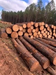 Arrendamento terreno reflorestamento pinus