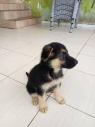 Título do anúncio: Cachorro pastor alemão capa preta puro