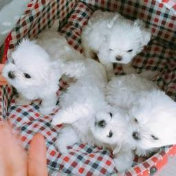 Canil Filhotes Cães Belos BH Maltês Poodle Yorkshire Lhasa Shihtzu Basset Fox