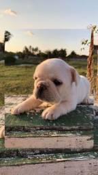 Título do anúncio: Bulldog francês (casal)