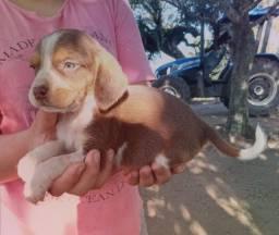 Beagles !!