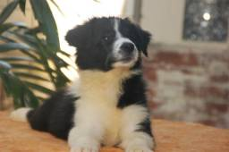 Border collies filhotes com pedigree