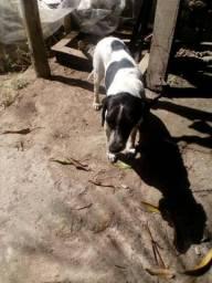 Cachorra big com baser, idade. 1ano.6 meses