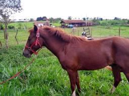 Cavalo 2 anos