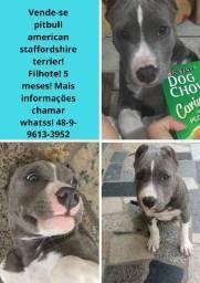 Pitbull american staffordshire terrier