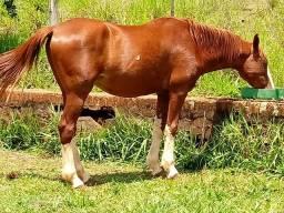 Cavalo mangalarga puro