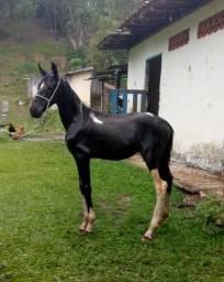 Potro Pampa de Preto M.M. registrado