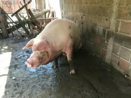 Vendo esse porco $1500