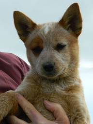 Cães lindos, Boiadeiro Australiano. Macho e fêmea. Com pedigree