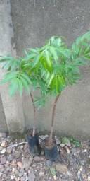 Mudas de plantas nativas do cerrado e frutiferas