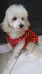 Poodle toy , procuro uma namorada que seja da mesma raça poodle toy