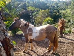 Cavalo inteiro, pampa um ano e oito meses