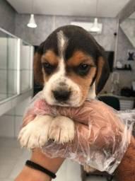 Título do anúncio: Beagle, 13 polegadas com procedência, esperando um lar !<br><br><br>