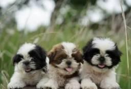 Título do anúncio: Shih tzu lindos filhotes com procedência !!!<br><br><br>