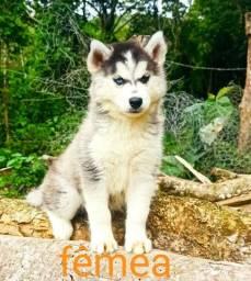 Título do anúncio: Husky siberiano. O cão mais bonito do mundo mais fiel e companheiro