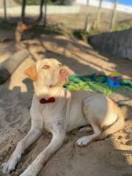 Título do anúncio: VENDO Labrador Fêmea
