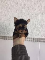 Título do anúncio: Maravilhosos filhotinhos de yorkshire com contrato e vet grátis
