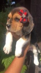 Título do anúncio: Pronta entrega beagle filhote 13 polegadas com vacina pedigree