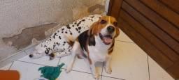 Título do anúncio: Doamos cão Beagle e Dálmata