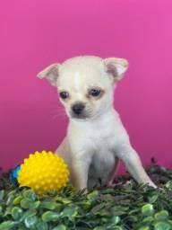 Título do anúncio: Lindos Chihuahuas!! Alta linhagem criação especializada