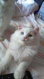 Gatos Ragdoll ? macho - 3 meses (Gatil: Valente Cat's)