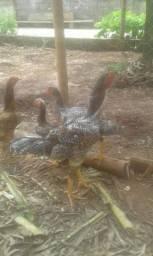 Frango indio gigante com 2 galinhas