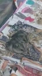Hamsters anão russo