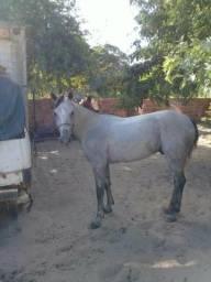 Cavalo alinhado de esquerda