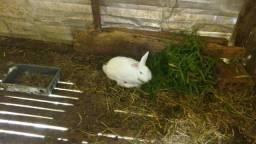 Três coelhas e um coelho