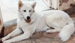 Husky Siberiano Femea 7 meses