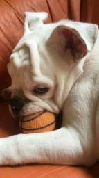 Vendo Bulldog com 7 meses