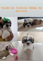 Linda filhote de Shitzu