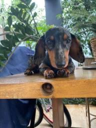 Basset fêmea (dauchshund alemão)