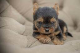 Yorkshire Terrier micro macho