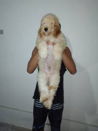Cachorro poodle com cokes macho