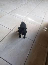 Filhote de pug mini