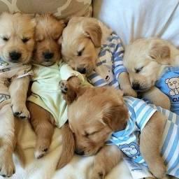 Título do anúncio: Golden Retrivier - Filhotes com garantia