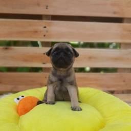 Título do anúncio: Pug - Filhotes com Garantia