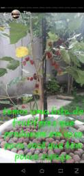 Mudas de frutíferas
